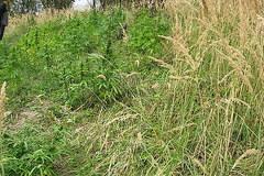 Zobacz zdjęcia odkrytych plantacji: