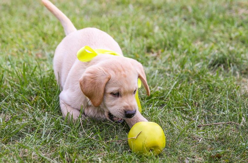 Żółta wstążka u psa nie zwalnia opiekuna z odpowiedzialności