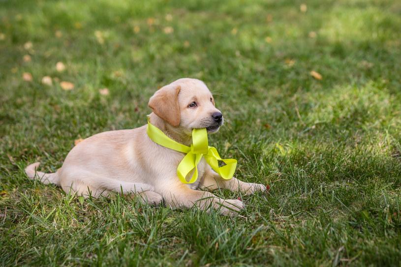 Żółta wstążka u psa to ważny sygnał ostrzegawczy /INTERIA.PL