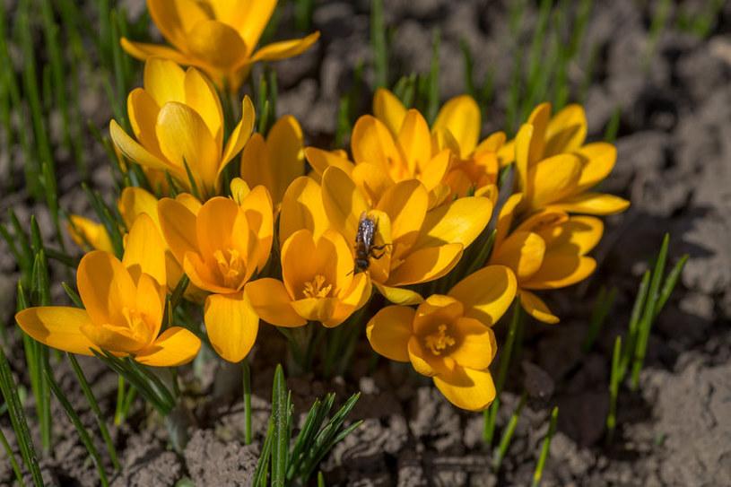 Żółte krokusy /©123RF/PICSEL