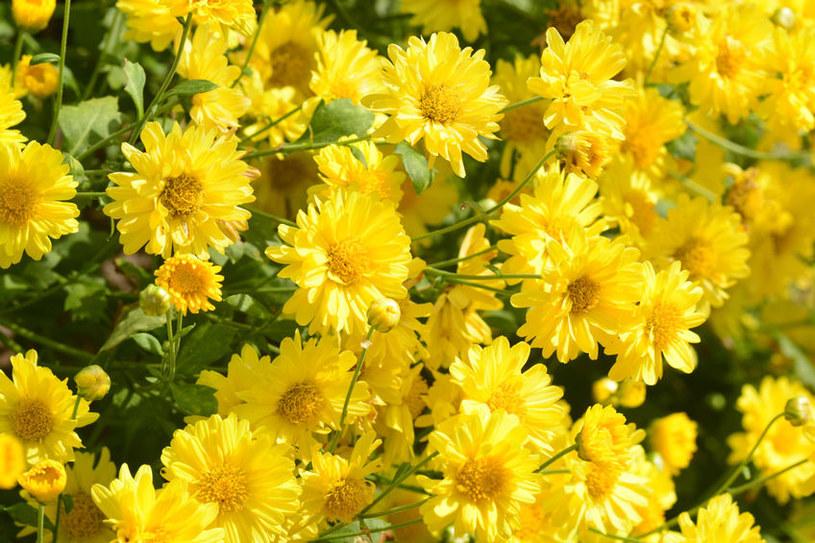 Żółte kwiaty /©123RF/PICSEL