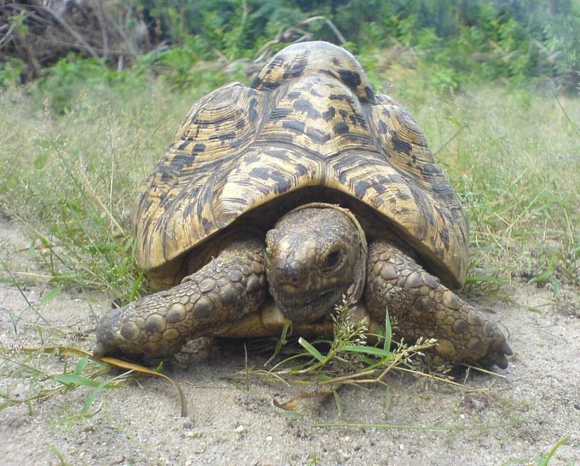 Żółw lamparci /Wikipedia
