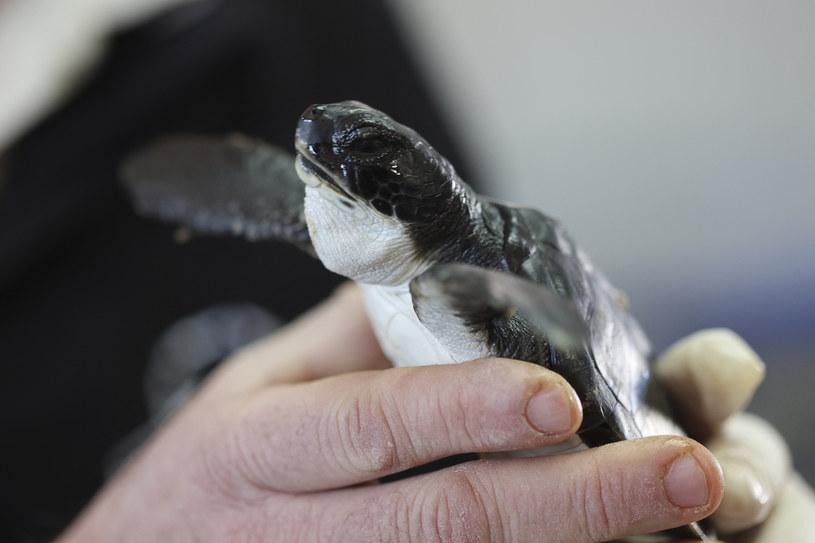 Żółw pokryty smołą /MENAHEM KAHANA / AFP /AFP