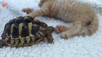 Żółw próbuje zjeść śpiacego kumpla. Co na to kot?