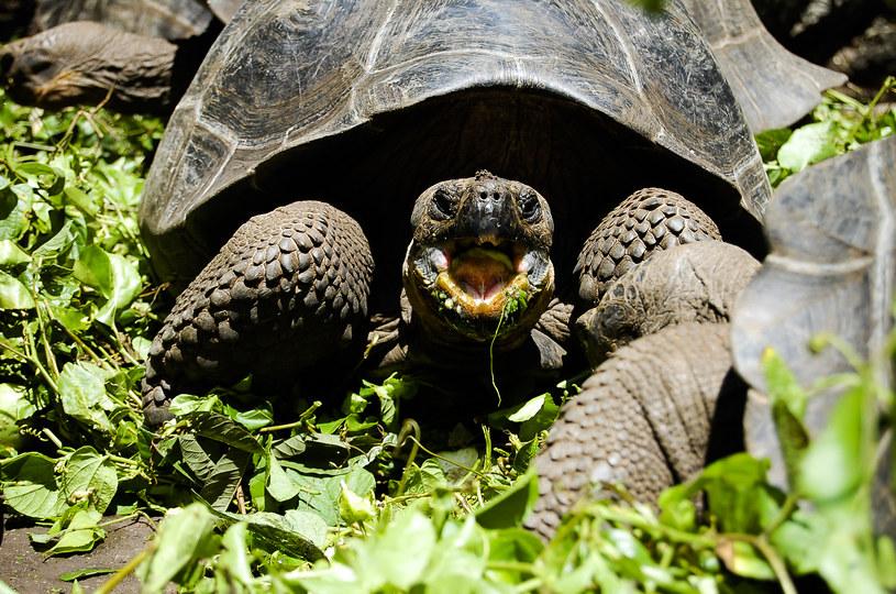 Żółw z Galapagos /123/RF PICSEL