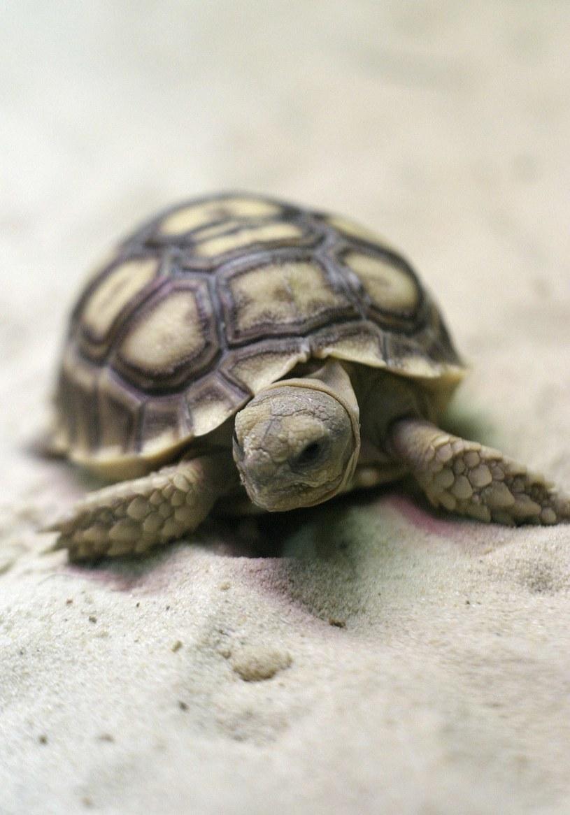 Żółw /Artur Hojny /Newspix