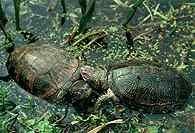 Żółwie /Encyklopedia Internautica