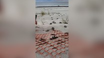 Żółwiki po wykluciu opanowały plażę w Południowej Karolinie