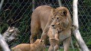 Zoo truje lwiątka