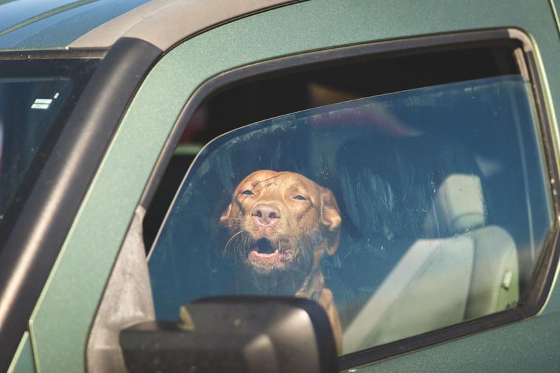 Zostawiając zwierzę w rozgrzanym samochodzie, narażamy je na śmierć /123RF/PICSEL