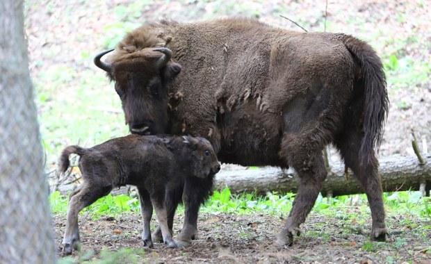 Żubrzątko urodziło się w Mucznem w Bieszczadach. Teraz trzeba wybrać dla niego imię