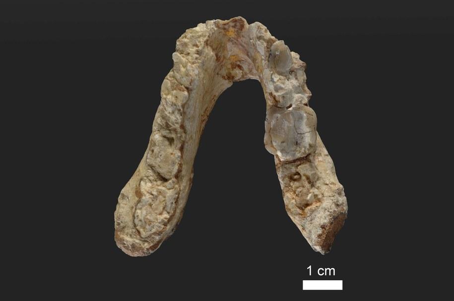 Żuchwa osobnika Graecopithecus freybergi (zwanego El Graeco) z Pyrgos Vassilissis w Grecji /Wolfgang Gerber, University of Tübingen /materiały prasowe
