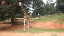 Zuchwała kradzież żyrafy. Tego się nie spodziewali