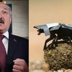 Żuk gnojarz i prezydent Łukaszenka warci Antynobli