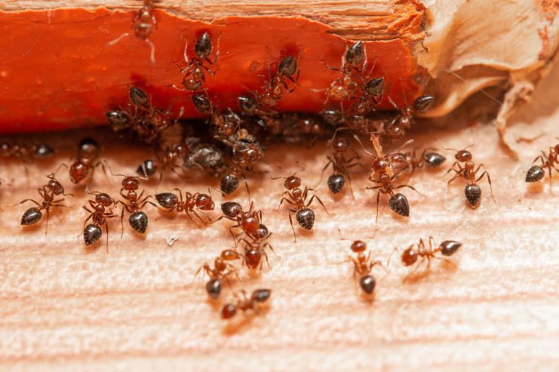 Zwalczanie mrówek w domu /©123RF/PICSEL
