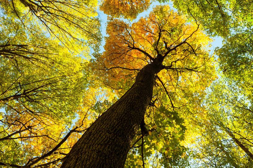 Zwarte korony drzew chronią runo leśne przed promieniami słonecznymi /123RF/PICSEL