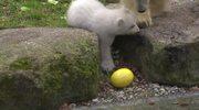 Zwiedzający zoo w Monachium zachwyceni niedźwiadkiem polarnym