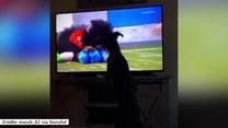 Zwierzak nie mógł powstrzymać emocji oglądając starcie czworonogów