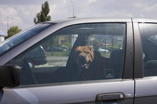 Zwierząt nie można zostawiać w zamkniętym aucie. Fot: Paweł Fąfara /Agencja SE/East News