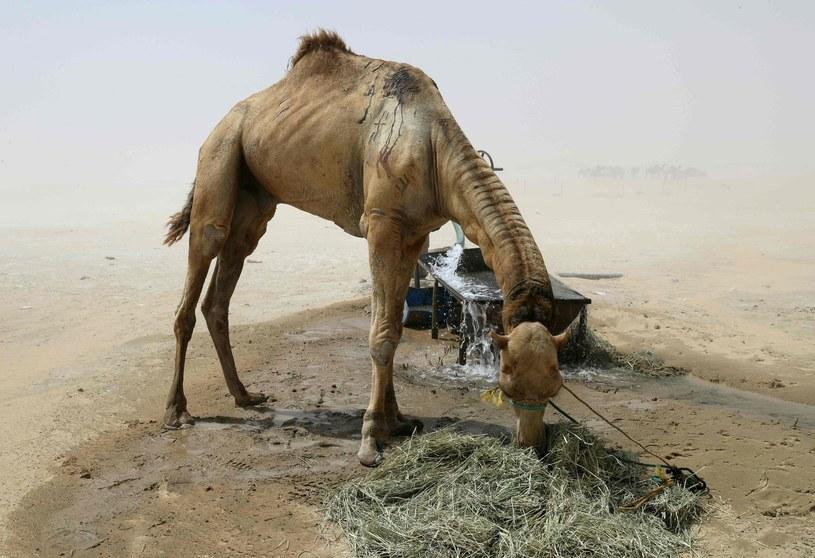 Zwierzęta są skazane na śmierć z powodu niedożywienia i braku wody /AFP