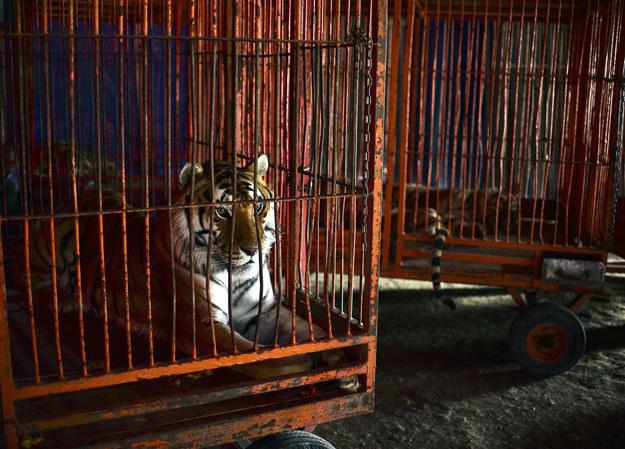 Zwierzęta w cyrku żyją w niesprzyjających warunkach /AFP