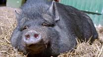 """""""Zwierzostan"""": Świnie"""