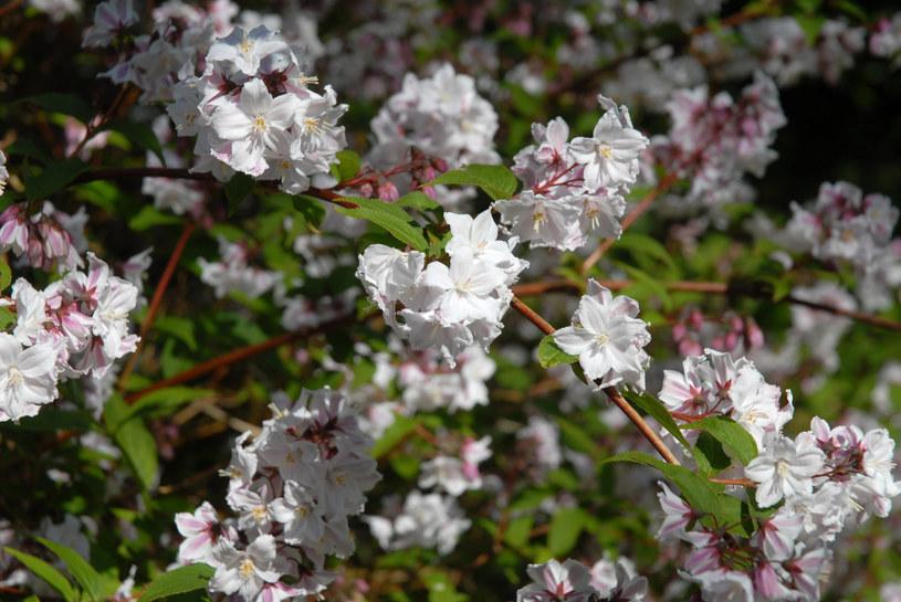 Żylistek jest jednym z piękniejszych roślin do cienia /123RF/PICSEL