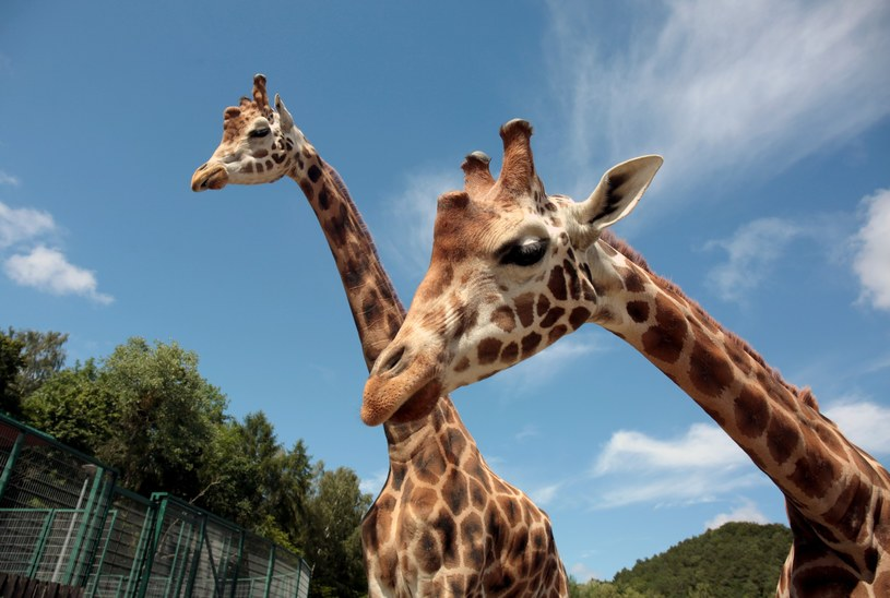 Żyrafa na liście gatunków zagrożonych wyginięciem /Piotr Hukalo /East News