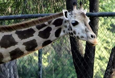 Żyrafa w litewskim zoo poturbowała studentkę /AFP