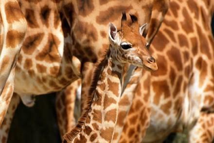 Żyrafy przyjadą do Gdańsku latem przyszłego roku /AFP