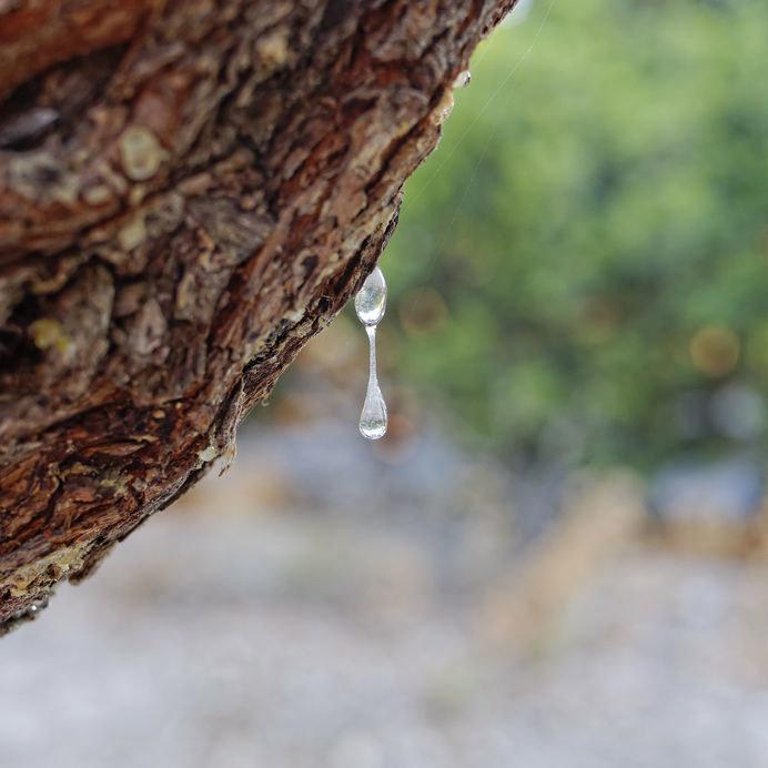 Żywica pistacji kleistej /©123RF/PICSEL