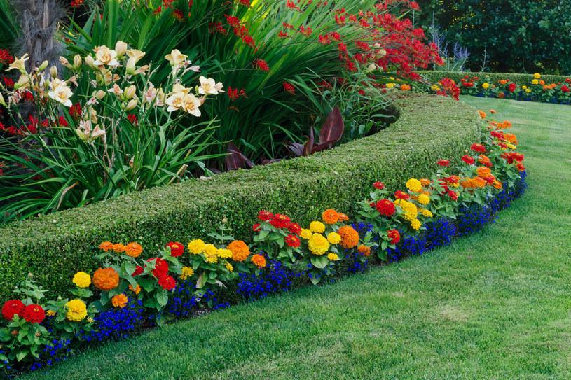 Żywopłot pełni w ogrodzie funkcje ozdobne i praktyczne /123RF/PICSEL
