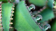 Żyworódka - cała apteka w jednej roślinie?