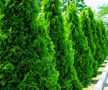 Żywotniki: Jak je pielęgnować jesienią?