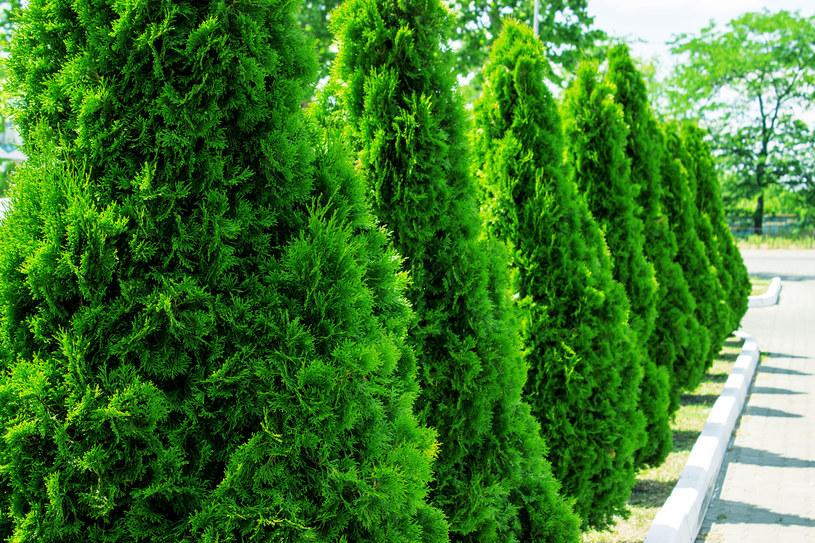 Żywotniki to bardzo popularne nad Wisłą rośliny ogrodowe /123RF/PICSEL