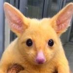 Żywy Pikachu znaleziony w Australii